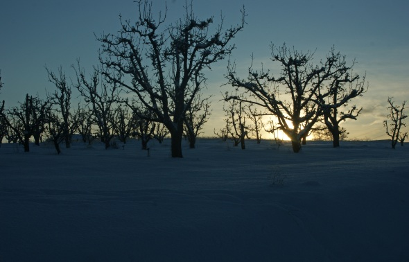 Apple orchard sunset winter