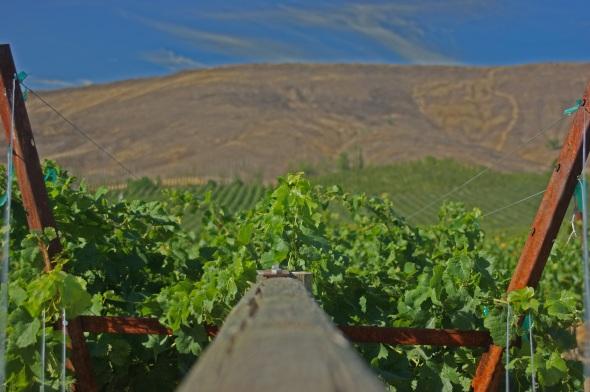 Vineyards, Grape Vines