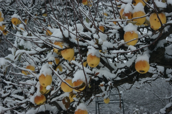 Snowy apples