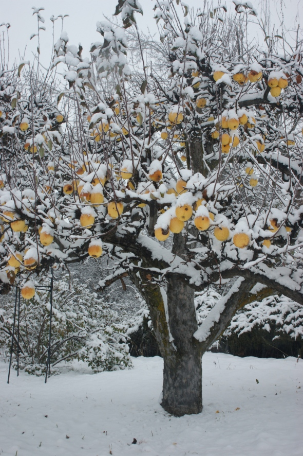 Snowy apples 2