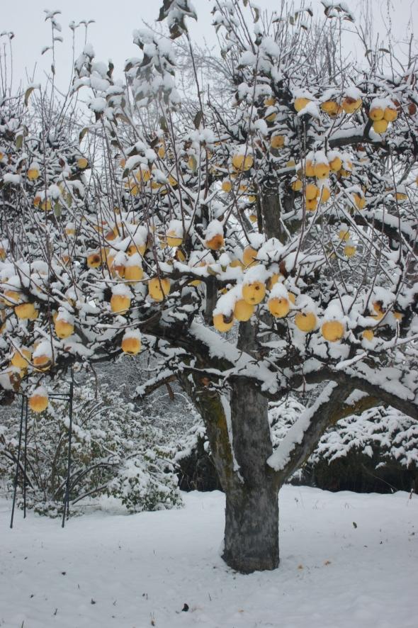 Snowy apples 2
